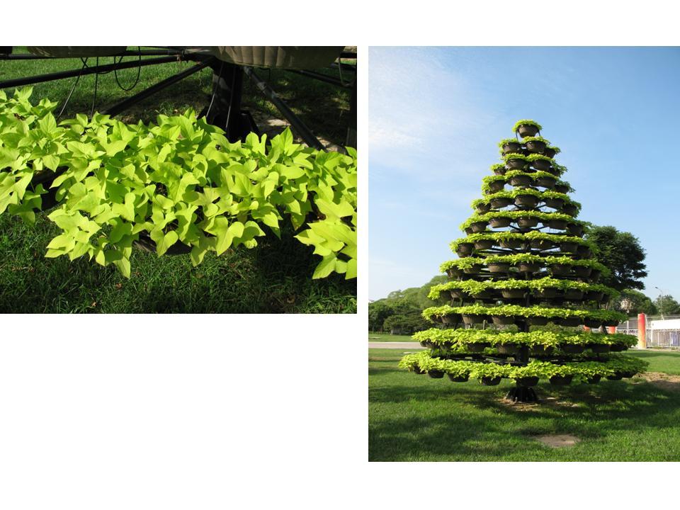 https://www.agro.biodiver.se/wp-content/uploads/2010/07/sweet-potato-tree.jpg