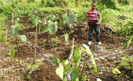 Taro varieties from SPC growing in Cameroon (Photo by Leke Walter Nkeabeng, Molecular Plant Virus Epidemiologist, National Scientific Coordinator of Annual Crops, Yaounde, Cameroon, reproduced by courtesy of the International Network of Edible Aroids)