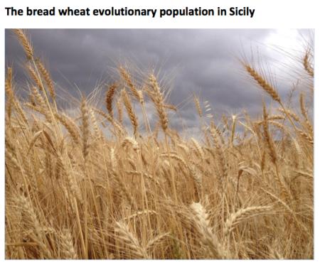 sicily wheat