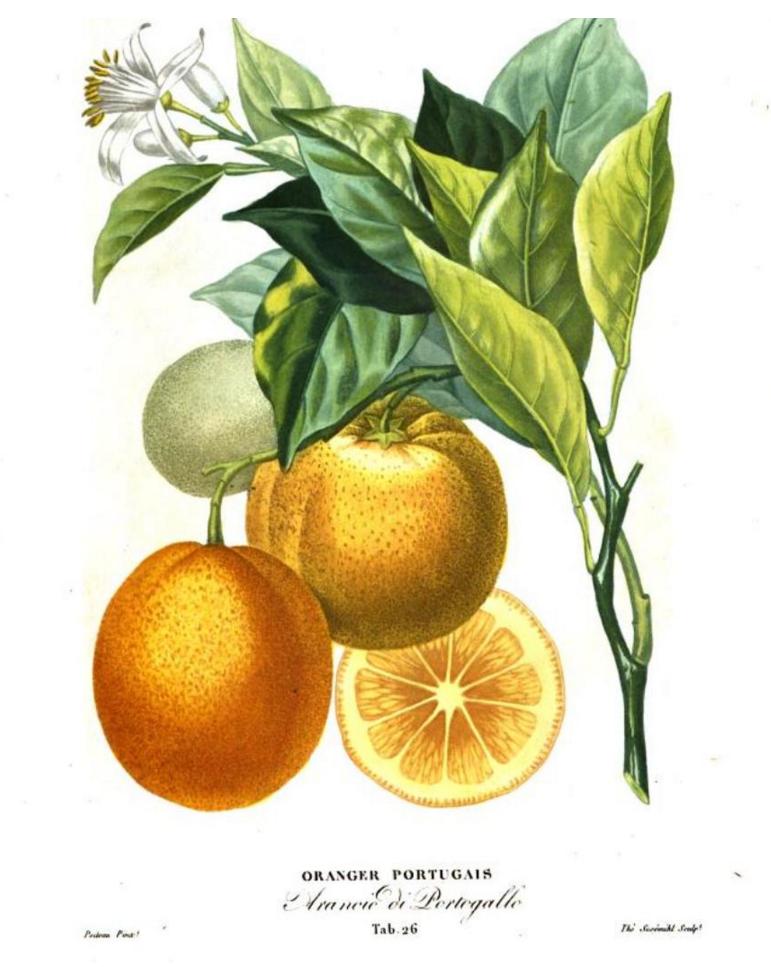 oranger_portugais
